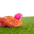Chicken chick hen pink painted on turf grass — Stock Photo