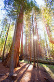 Sequoias in Mariposa grove at Yosemite National Park — Stock Photo