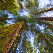 Sequoias in California view from below — Stock Photo