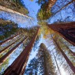 Stock Photo: Sequoias in Californiview from below