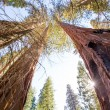 Sequoias in Californiview from below — Stock Photo #35715811