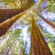 Sequoias in Californiview from below — Stock Photo #35716281