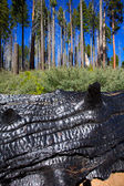 Burned charred redwood trunk in Yosemite — Stock Photo