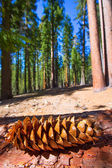 Sequoia pine cone macro in Yosemite Mariposa Grove — Stock Photo