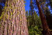 Sequoias in Mariposa grove at Yosemite California — Stock Photo