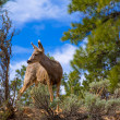 Elk Deer grazing in Arizona Grand Canyon Park — Stock Photo