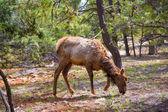 Elk Deer grazing in Arizona Grand Canyon Park — Stock Photo