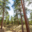 Pine tree forest in Grand Canyon Arizona — Stock Photo #36067131