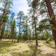 Pine tree forest in Grand Canyon Arizona — Stock Photo