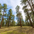 Pine tree forest in Grand Canyon Arizona — Stock Photo #36068329