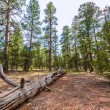 Pine tree forest in Grand Canyon Arizona — Stock Photo #36068699