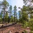 Pine tree forest in Grand Canyon Arizona — Stock Photo #36068775