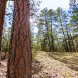 Stock Photo: Pine tree forest in Grand Canyon Arizona
