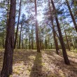 Pine tree forest in Grand Canyon Arizona — Stock Photo #36068915