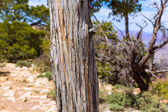 Arizona Grand Canyon Juniper tree trunk texture — Stock Photo