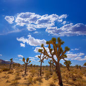 Joshua tree national park yucca désert de mohave valley en californie — Photo