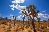 Joshua tree nationalpark yucca valley mohave wüste kalifornien — Stockfoto