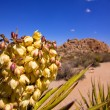 Stock Photo: Yucca brevifolia flowers in Joshua Tree National Park