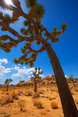 Joshua Tree National Park Yucca Valley Mohave desert California — Stock Photo