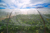 Greenhouse with chard vegetables under dramatic blue sky — Foto de Stock