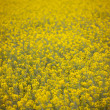 Yellow spring fields with selective focus — Stock Photo