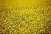 Gelbe Feder-Felder mit Tiefenschärfe — Stockfoto