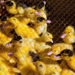 Ducklings in yellow and black under wire mesh — Stock Photo #37649861