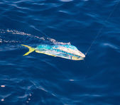 Dorado Mahi-Mahi fish hooked with fishing line — Stock Photo