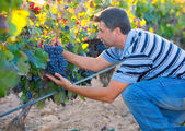 Farmer man in vineyard harvest autumn leaves in mediterranean — Stock Photo