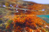 Mediterranean underwater seaweed algae in Denia Javea — Stock Photo