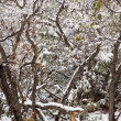 NevadUSspring snow in trees — Stock Photo #37660883