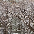 NevadUSspring snow in trees — Stock Photo #37661011