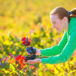 Farmer woman in vineyard harvest autumn in mediterranean — Stock Photo #37663343