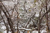 Nevada USA spring snow in the trees — Stock Photo