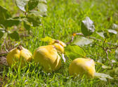 Quince fruit still image over green grass in nature — Stock Photo