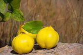 Quince fruit still image over stone in nature — Stock Photo