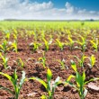 Stock Photo: Corn fields sprouts in rows in California agriculture