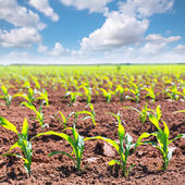 Corn fields sprouts in rows in California agriculture — Stockfoto