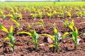 Corn fields sprouts in rows in California agriculture — Stock Photo