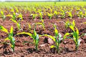 Brotes de campos de maíz en filas en la agricultura de california — Foto de Stock