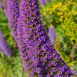 Echium candicans pride of Madeirpurple flowers — Stock Photo #39033373