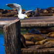 San Francisco Pier 39 seagull and seals at California — Stock Photo #39036737