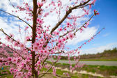 Spring almond tree flowers in Sierra de Espadan Castellon — Stock Photo