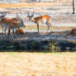 Antelopes having a rest in a park — Stock Photo