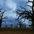 Africa Baobab trees in a cloudy day — Stock Photo
