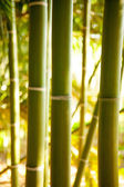 Bamboo cane field with selective focus — Stock Photo