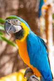 Blue Parrot portrait with yellow neck — Stock Photo