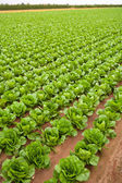 Cabbage field lines in a row in Valencia Spain — Stock Photo