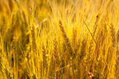 Wheat spikes in golden field with cereal — Stock Photo