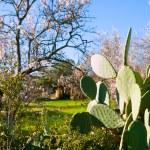 Mediterranean spring in Javea Denia with flower almonds — Stock Photo #39743079